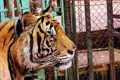 Big Tiger Head In Captivity With Collar On The Neck To Show Tourists. poster