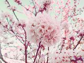 Beautiful Cherry Blossom Pink Sakura Branch In Spring On Blue Sky Background As Sale Banner. April B poster
