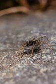Dark Brown Spider Perched On The Stone poster