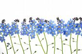 image of forget me not  - Close - JPG