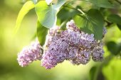 Beautiful Green Bush With Fragrant Tender Lilac Flowers In Garden On Sunny Day. Awesome Spring Bloss poster