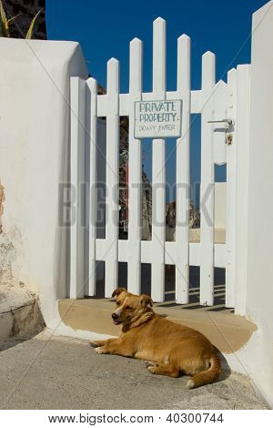 Greek dog guarding the house in Oia Santorini