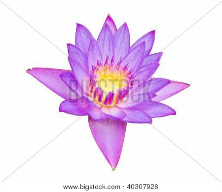 Close Up Of Beautiful Purple Lotus Blossom