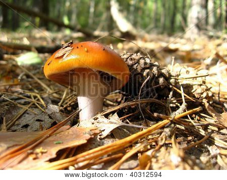 beautiful young agaric in the forest
