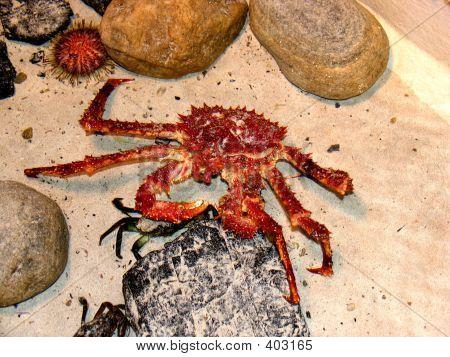 Underwater, Ocean  - A Large Crab.