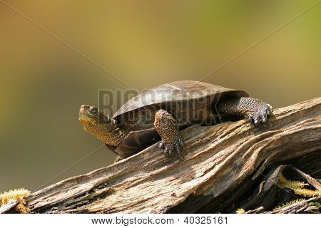 Wester Pond Turtle On A Log