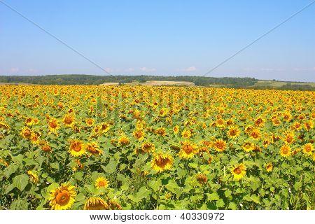 Beautiful Sunflowers Field Under The Hills