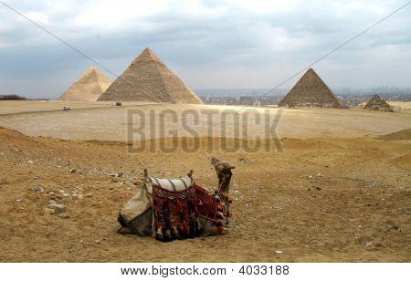 Camel With Pyramids