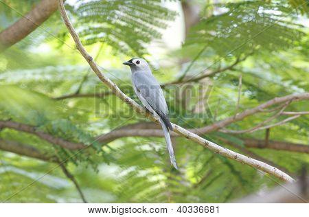 Ashy Drongo Dicrurus leucophaeus