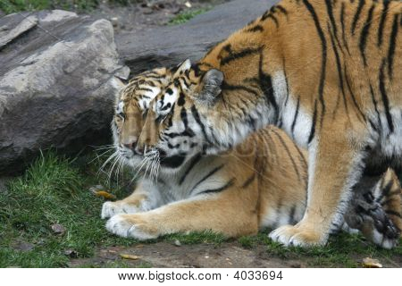Tigers In Love.