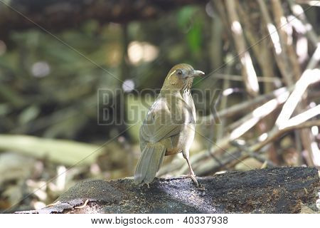 Spot-breasted Laughingthrush Garrulax merulinus
