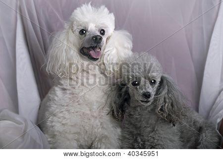 A Pair Of Miniature Poodles