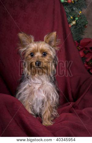 Yorkshire Terrier Christmas Portrait