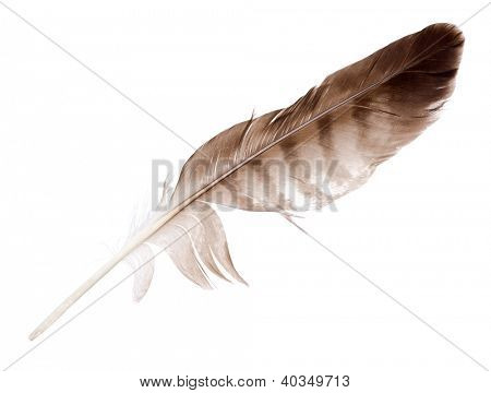 variegated eagle feather isolated on white background