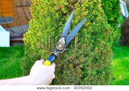 Hands are cut bush clippers
