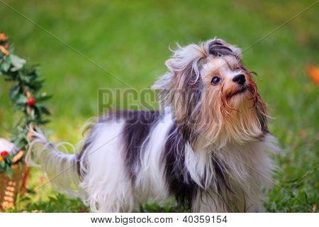 face of biver york shire terrior dog standing in home garden