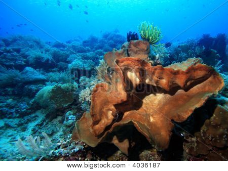 Large Indo Pacific Sponge
