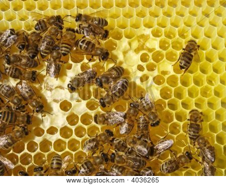 Bee On Honeycombs From Grey.