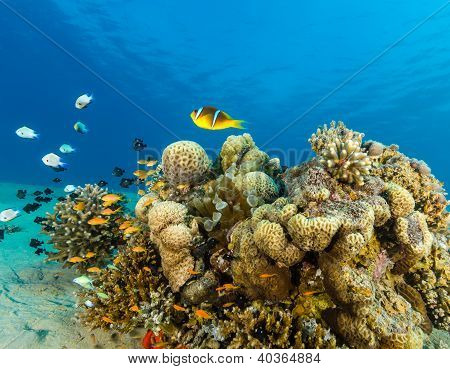 Clownfish And Tropical Fish Swimming Over A Coral Pinnacle In The Red Sea