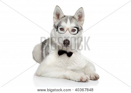 Siberian Husky Dog In Bow Tie On White Background