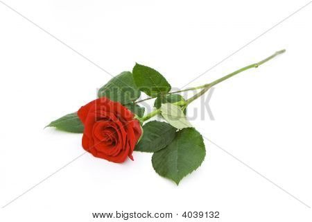 Beautiful Rose Isolated
