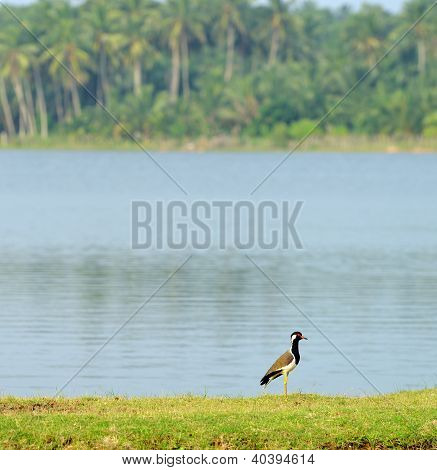 Tropical Bird Lapwing
