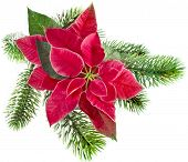 christmas flower - Red poinsettia with fir branch isolated on a white background