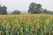 picture of sorghum  - Field of Sorghum bicolor Jawar pune Maharashtra India - JPG