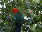 foto of king parrot  - a male king parrot keeps a careful watch as he searches for fresh seed pods - JPG