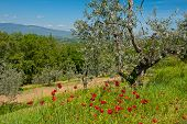 picture of apennines  - Olive Grove on the Slopes of the Apennine Mountains Italy - JPG
