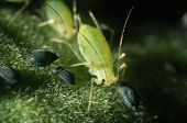 stock photo of aphid  - aphids  - JPG