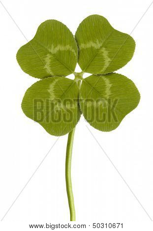 four-leaf clover isolated on white