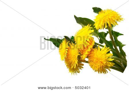 Nice Dandelions On A White Background.