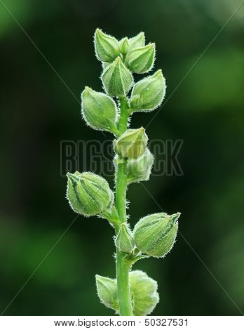 Green Buds Of Hollyhock Flower Waiting For Blooming, Closeup In Blurred Background