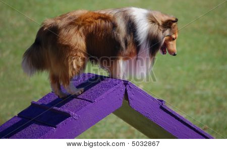 Collie On Purple Ramp