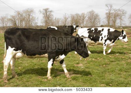 Wisconsin Holstein Dairy Cows