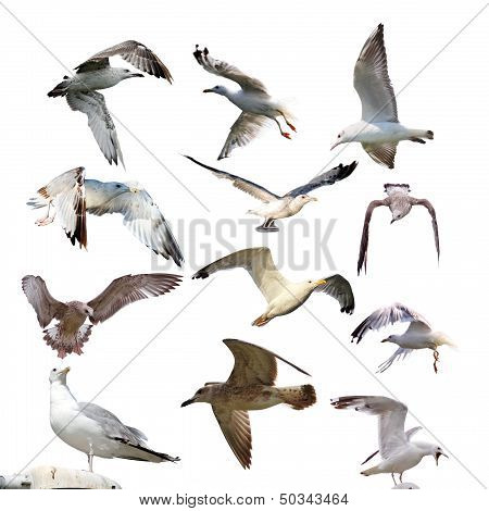 Collection Of Isolated Gulls