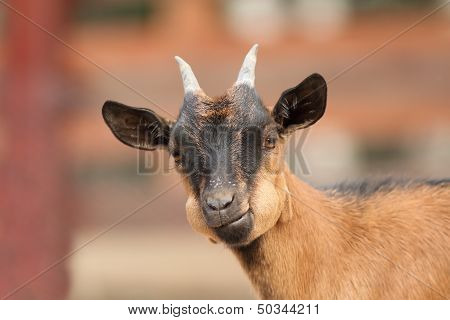 Young Goat Portrait