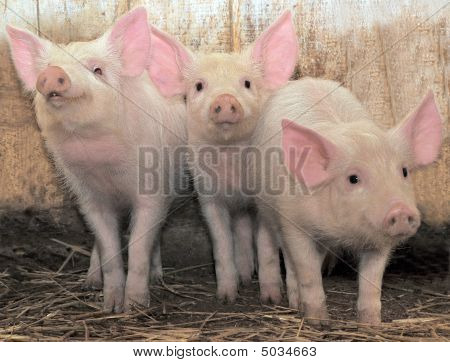 Tres cerditos