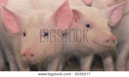 Two Young Pigs