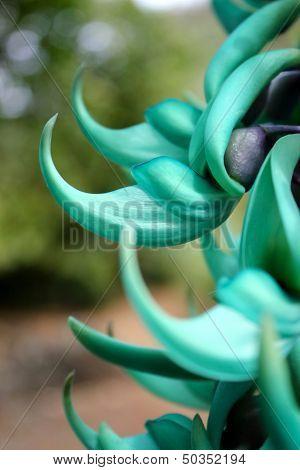 Jade vine flower