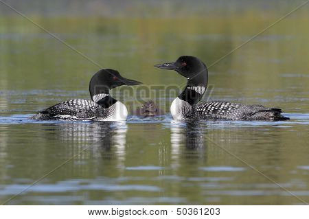 Pair Of Common Loons Keeping Watch Over Their Baby