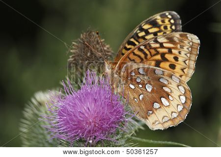 Great Spangled Fritillary Pollinating A Canada Thistle