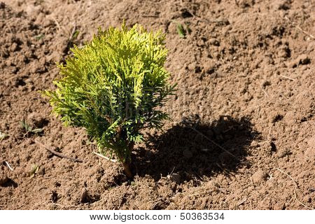 Small Thuja In Dry Soil
