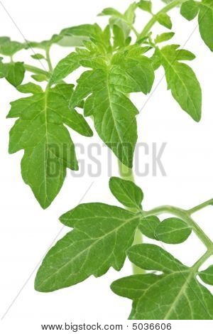 Green Tomato Leaves