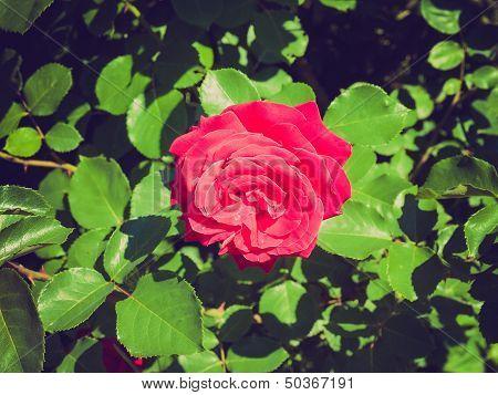 Retro Look Rose