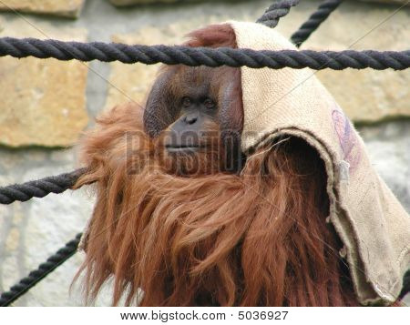 Flamboyant Orangutan