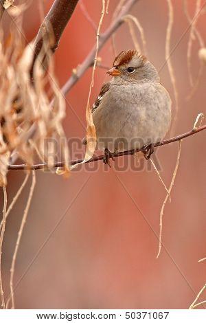 Immature Sparrow