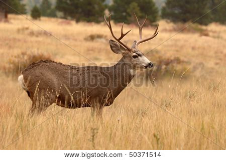 Mule Deer Buck Portrait