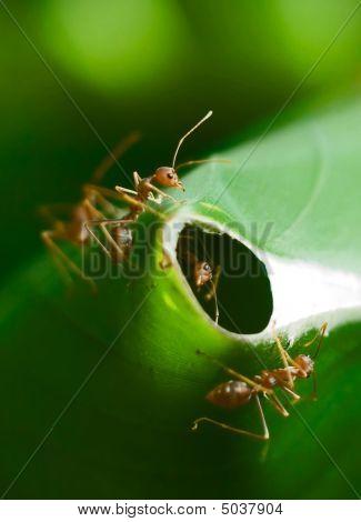 Ants Guarding Nest